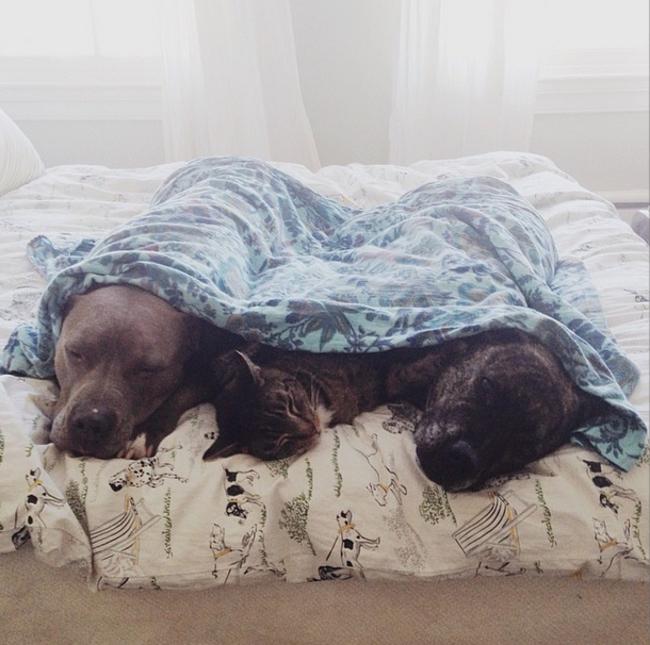01-pitbull-cuddling