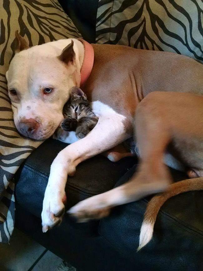 04-pitbull-cuddling