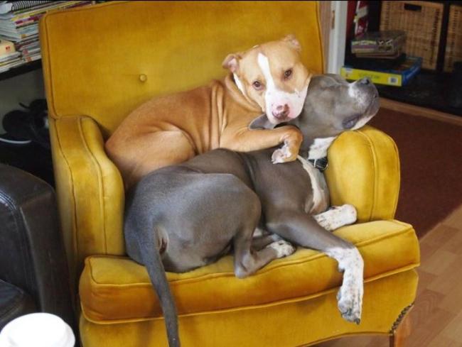 09-pitbull-cuddling