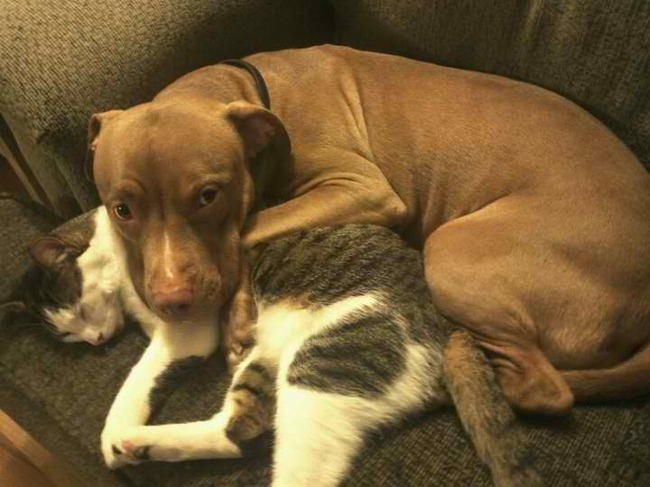 15-pitbull-cuddling