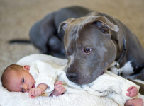 pit-bull-and-baby