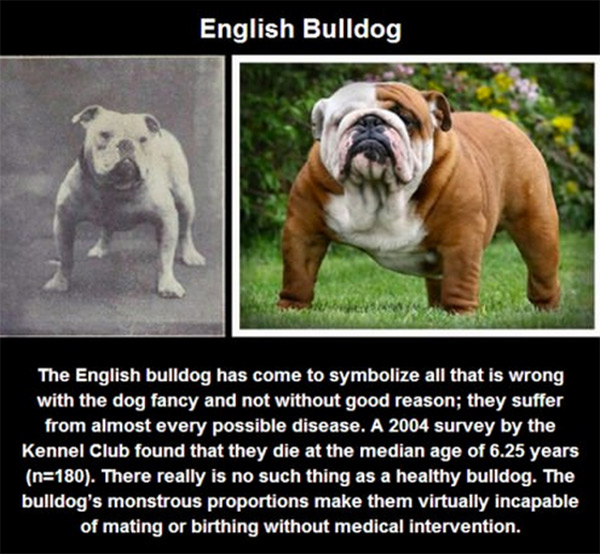 selective-dog-breeding-7