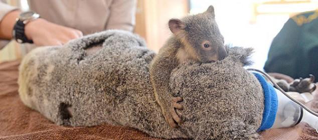 koala-feat